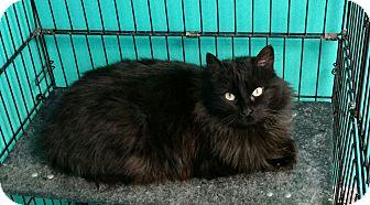 Domestic Longhair Cat for adoption in Brookings, South Dakota - Pandora