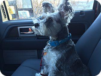 Schnauzer (Miniature) Dog for adoption in Grafton, Massachusetts - Harley