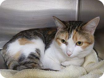 Domestic Shorthair Cat for adoption in Marietta, Georgia - DIXIE (R)