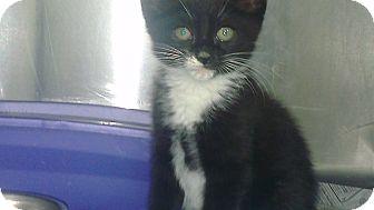 Domestic Shorthair Kitten for adoption in Grasonville, Maryland - Black and White Male