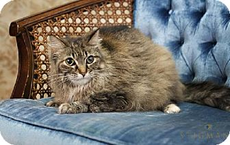 Domestic Longhair Cat for adoption in Detroit Lakes, Minnesota - Violet