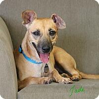 Adopt A Pet :: Jade - Knoxville, TN