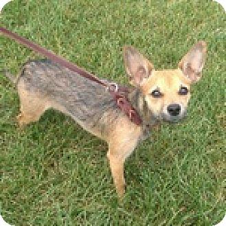 Chihuahua Mix Dog for adoption in Wheaton, Illinois - Cricket
