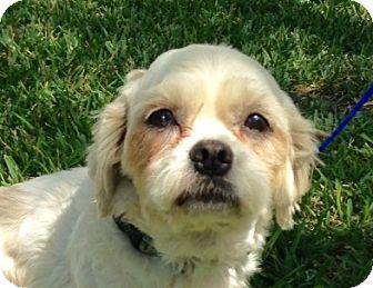 Lhasa Apso/Poodle (Miniature) Mix Dog for adoption in San Antonio, Texas - Mikey