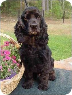 Cocker Spaniel Dog for adoption in Sugarland, Texas - Cole