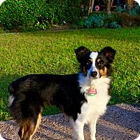 Adopt A Pet :: Kallie - MINI AUSSIE - Mesquite, TX