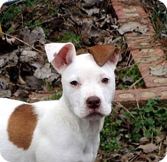 American Pit Bull Terrier/American Staffordshire Terrier Mix Puppy for adoption in Harriman, Tennessee - Tatinka