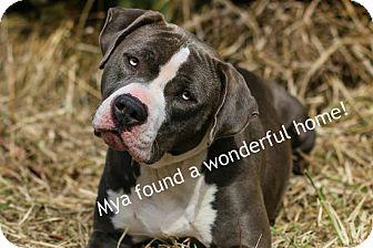 Pit Bull Terrier Dog for adoption in Proctorville, Ohio, Ohio - Mya