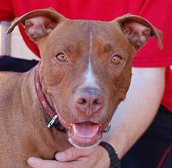 American Staffordshire Terrier/American Pit Bull Terrier Mix Dog for adoption in Las Vegas, Nevada - Millie