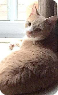 Domestic Shorthair Cat for adoption in Breinigsville, Pennsylvania - Biscuit