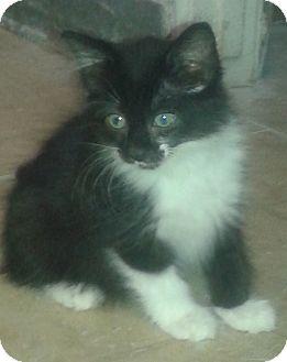 Domestic Mediumhair Kitten for adoption in Whittier, California - Shyann