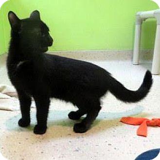 Domestic Shorthair Kitten for adoption in Janesville, Wisconsin - Eugene