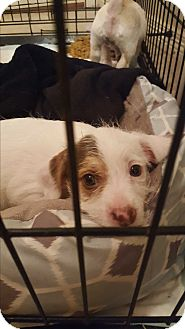 Terrier (Unknown Type, Small) Mix Puppy for adoption in Weatherford, Texas - Grace