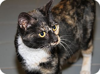 Calico Cat for adoption in Marietta, Ohio - Julianne (Pregnant/Combo'd)