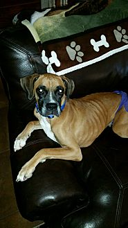 Boxer Dog for adoption in Austin, Texas - Francie Nolan