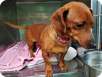 Dachshund Dog for adoption in Lubbock, Texas - Gabbie