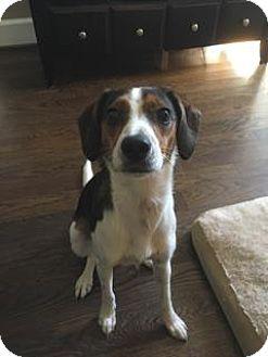 Rat Terrier Mix Dog for adoption in Troy, Michigan - Harlan