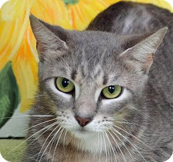 Domestic Shorthair Cat for adoption in Englewood, Florida - Angel