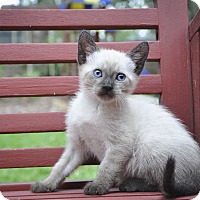 Adopt A Pet :: WAFFLES (Siamese) - New Smyrna Beach, FL
