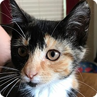 Adopt A Pet :: Sadie - Painted Post, NY