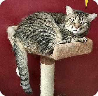 American Shorthair Cat for adoption in Charlotte, North Carolina - Iris
