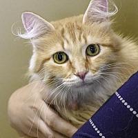 Adopt A Pet :: Tulip - St Paul, MN