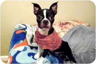 Boston Terrier/Chihuahua Mix Dog for adoption in Westampton, New Jersey - Geno-KISSYFACE