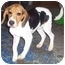 Photo 4 - Beagle Mix Dog for adoption in Hamilton, Ontario - Buddy