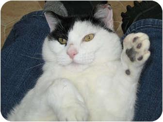Domestic Shorthair Cat for adoption in Republic, Washington - Venus