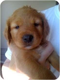Australian Shepherd/Golden Retriever Mix Puppy for adoption in Westminster, Colorado - LEXUS