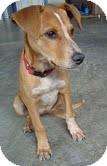 Redbone Coonhound/Terrier (Unknown Type, Medium) Mix Puppy for adoption in Foster, Rhode Island - Ruby