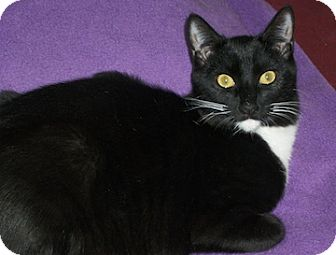 Domestic Shorthair Cat for adoption in North Highlands, California - Oboe