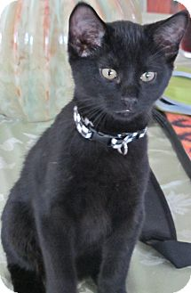 Domestic Shorthair Kitten for adoption in Seminole, Florida - Smith