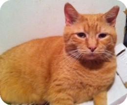 Domestic Shorthair Cat for adoption in Horsham, Pennsylvania - Quinn