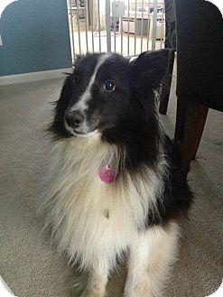 Sheltie, Shetland Sheepdog Dog for adoption in COLUMBUS, Ohio - Bruiser