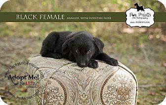 Labrador Retriever Mix Puppy for adoption in Salem, Massachusetts - Abigail