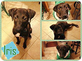 Labrador Retriever Mix Dog for adoption in Hampton, Virginia - Iris