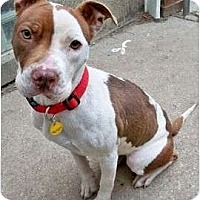 Adopt A Pet :: Dancer - Sterling Heights, MI