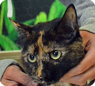 Domestic Shorthair Cat for adoption in Searcy, Arkansas - Winnie 2