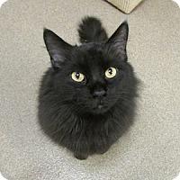 Adopt A Pet :: Chewie - Gilbert, AZ