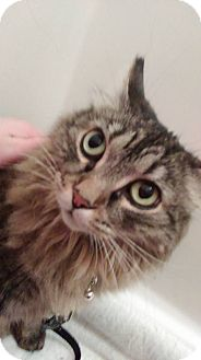 Maine Coon Cat for adoption in Anchorage, Alaska - Bippy