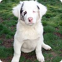 Adopt A Pet :: HERSHEL - DEAF pending adopt - Post Falls, ID