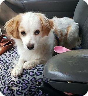 Spaniel (Unknown Type) Mix Dog for adoption in Sacramento, California - Armani--ADOPTED!