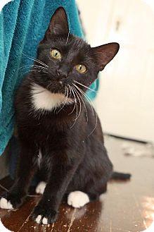 Domestic Shorthair Cat for adoption in Houston, Texas - Sugar Dot - Arabelle