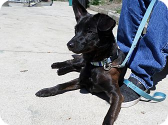 Miniature Pinscher/Whippet Mix Dog for adoption in Beacon, New York - Mischief