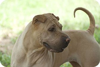 Shar Pei Dog for adoption in Houston, Texas - Tootsie Roll