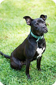 American Pit Bull Terrier/Labrador Retriever Mix Dog for adoption in Woodstock, Georgia - Dozer