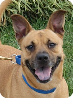 Shepherd (Unknown Type)/Boxer Mix Dog for adoption in Monroe, Michigan - Rachael