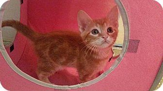 Domestic Mediumhair Kitten for adoption in Ocala, Florida - Cash
