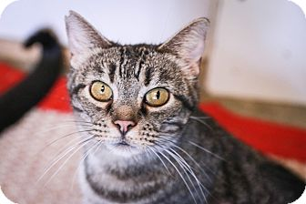 Domestic Shorthair Cat for adoption in Loogootee, Indiana - Vectora